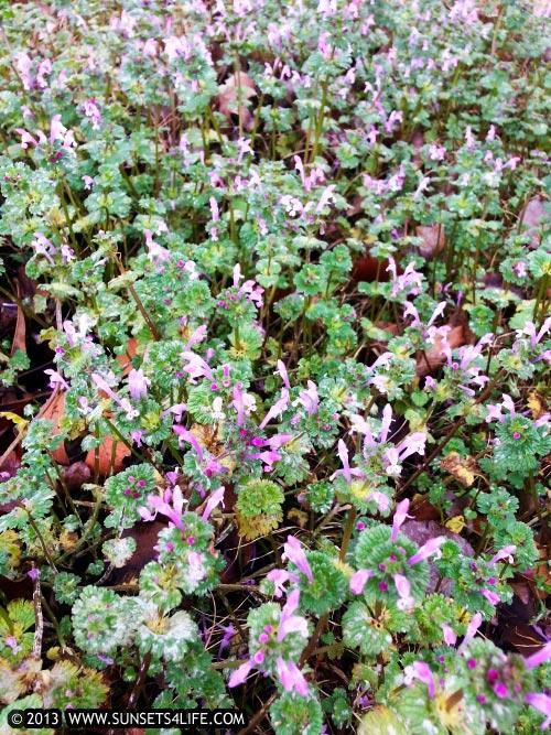 Purple Flowers In My Back Yard