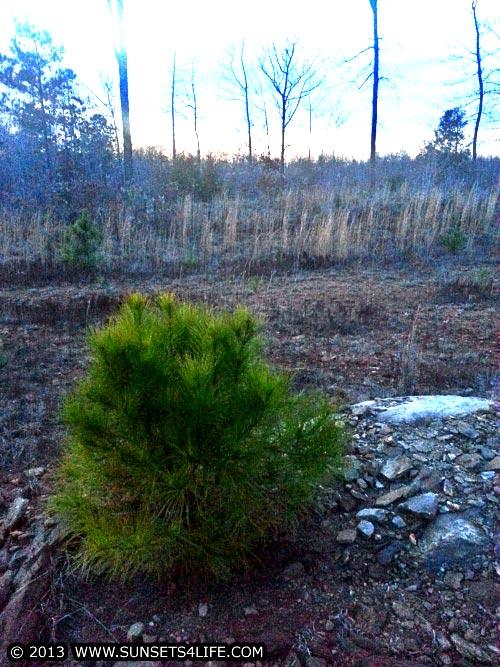 Little Bushy Pine Tree01-11-13